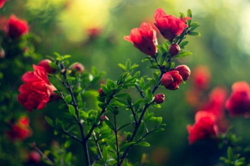 flowers-red-wallpaper